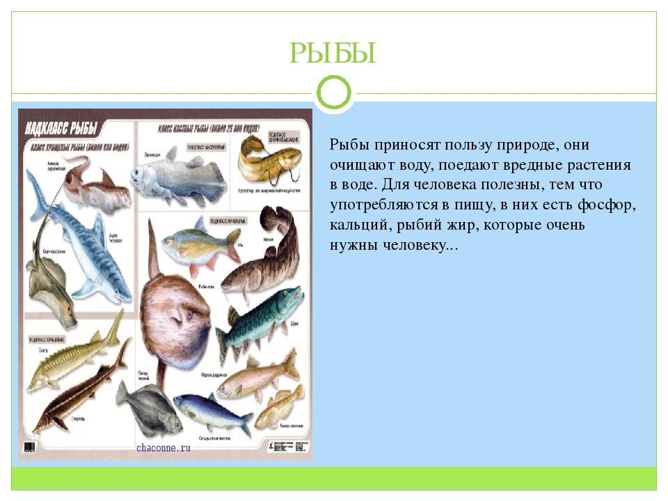 РЫБЫ Рыбы приносят пользу природе, они очищают воду, поедают вредные растения...