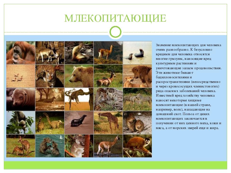 МЛЕКОПИТАЮЩИЕ Значение млекопитающих для человека очень разнообразно. К безус...