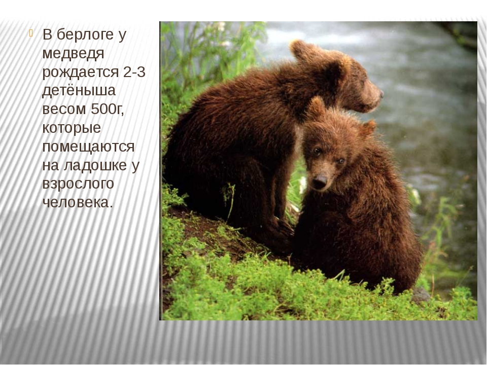 В берлоге у медведя рождается 2-3 детёныша весом 500г, которые помещаются на...