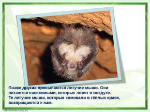 Позже других просыпаются летучие мыши. Они питаются насекомыми, которых ловя