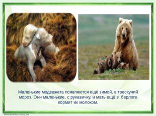 Маленькие медвежата появляются ещё зимой, в трескучий мороз. Они маленькие, с
