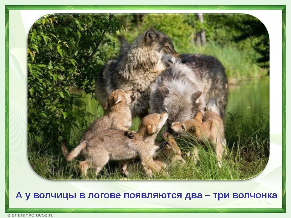А у волчицы в логове появляются два – три волчонка