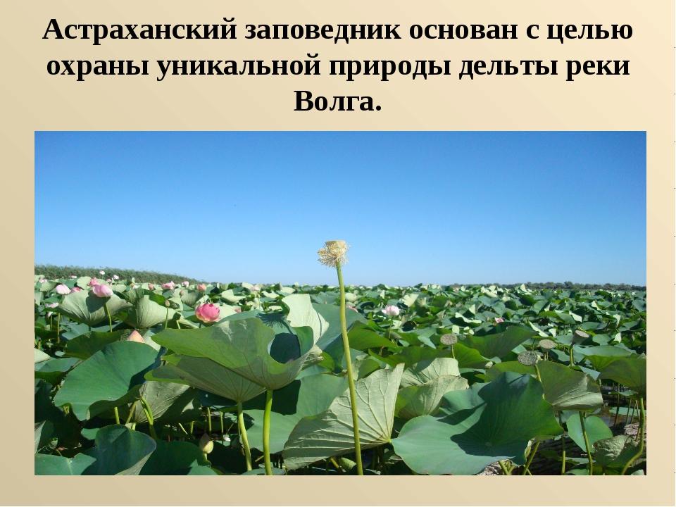 Астраханский заповедник основан с целью охраны уникальной природы дельты реки...