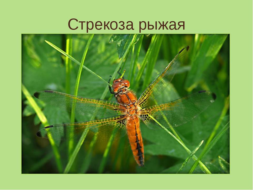 Стрекоза рыжая