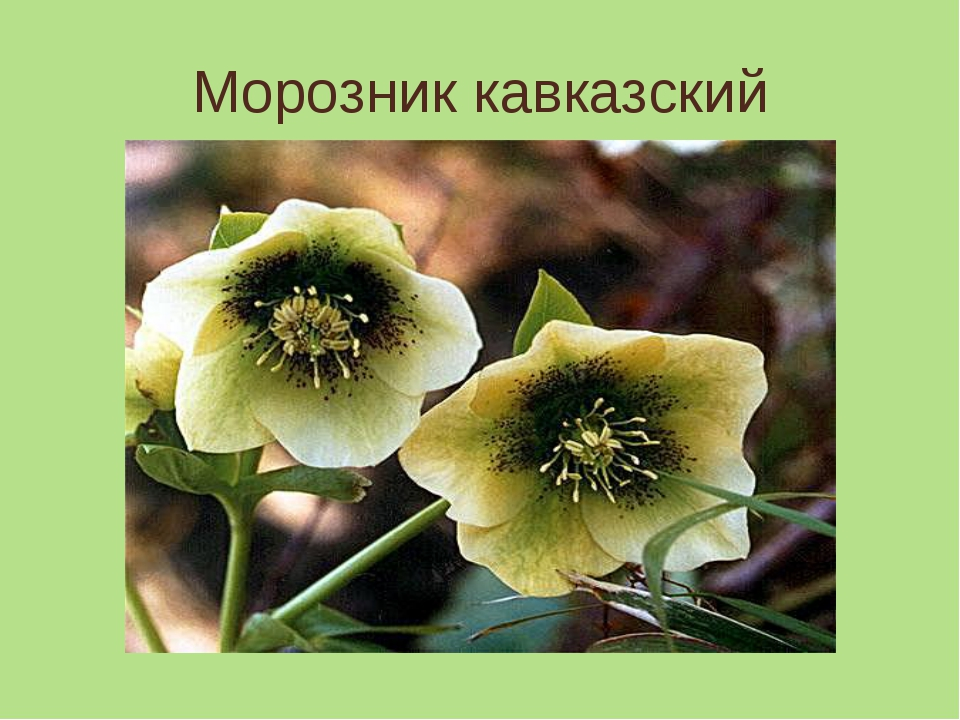 Морозник кавказский