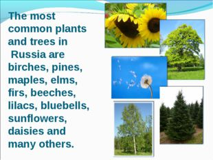 The most common plants and trees in Russia are birches, pines, maples, elms,