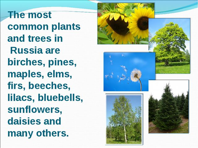The most common plants and trees in Russia are birches, pines, maples, elms,...