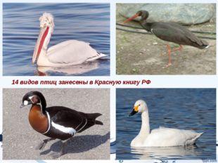 14 видов птиц занесены в Красную книгу РФ