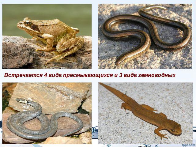 Встречается 4 вида пресмыкающихся и 3 вида земноводных