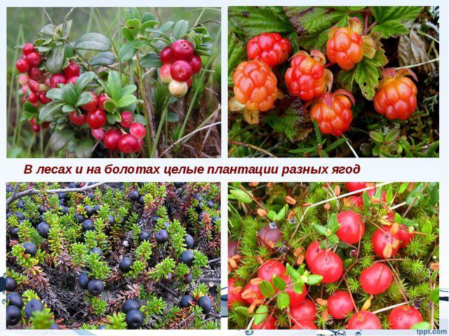 В лесах и на болотах целые плантации разных ягод