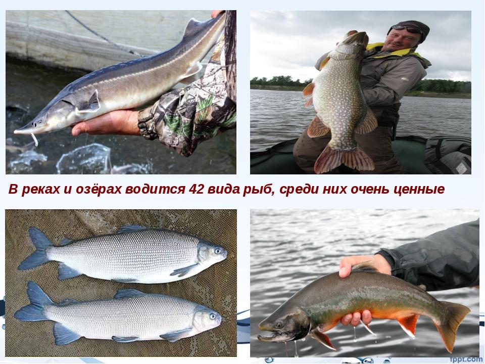 В реках и озёрах водится 42 вида рыб, среди них очень ценные