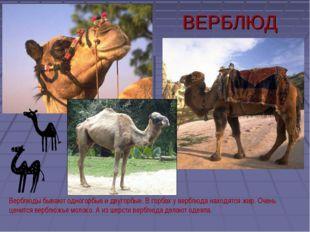 ВЕРБЛЮД Верблюды бывают одногорбые и двугорбые. В горбах у верблюда находятся