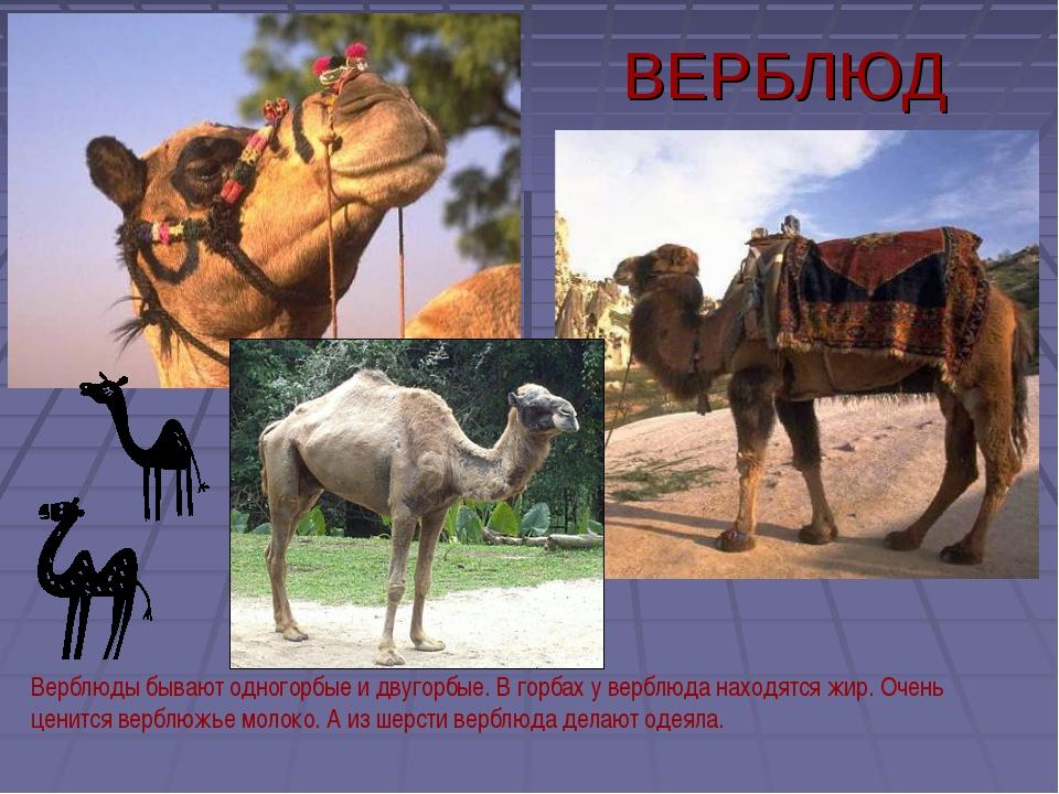 ВЕРБЛЮД Верблюды бывают одногорбые и двугорбые. В горбах у верблюда находятся...