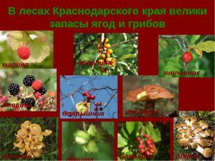 В лесах Краснодарского края велики запасы ягод и грибов малина ежевика лисичк