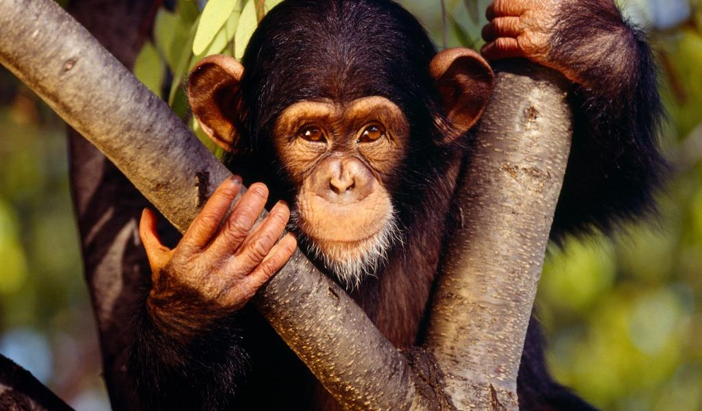 http://www.kewlwallpapers.com/images/1024x600/Chimpanzee.jpg