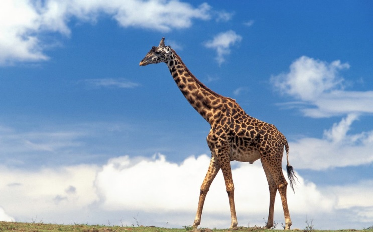 http://images.forwallpaper.com/files/thumbs/preview/94/948730__giraffe_p.jpg
