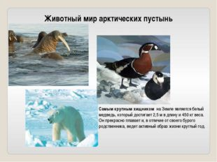Животный мир арктических пустынь Самым крупным хищником на Земле является бе