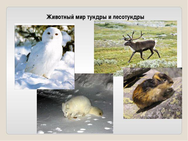 Животный мир тундры и лесотундры