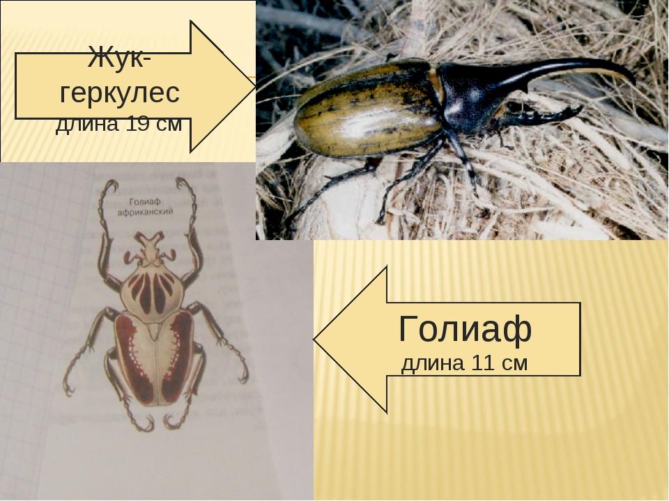 Жук- геркулес длина 19 см Голиаф длина 11 см