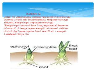 ЖАПЫРАҒЫ. Астық тұқымдастарының жапырақтары кезектесіп орналасады және екі қ