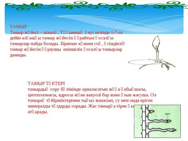 ТАМЫР Тамыр жүйесі – шашақ. Тұқымның өнуі кезінде 1-7-ге дейін алғашқы тамыр...