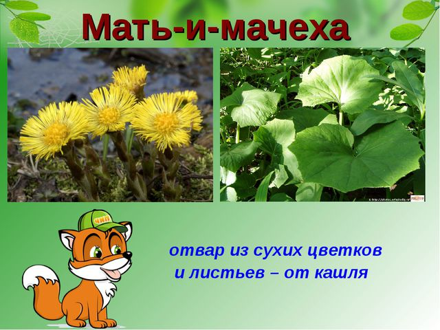 Мать-и-мачеха отвар из сухих цветков и листьев – от кашля