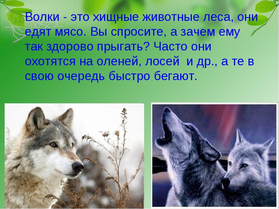 Волки - это хищные животные леса, они едят мясо. Вы спросите, а зачем ему та...
