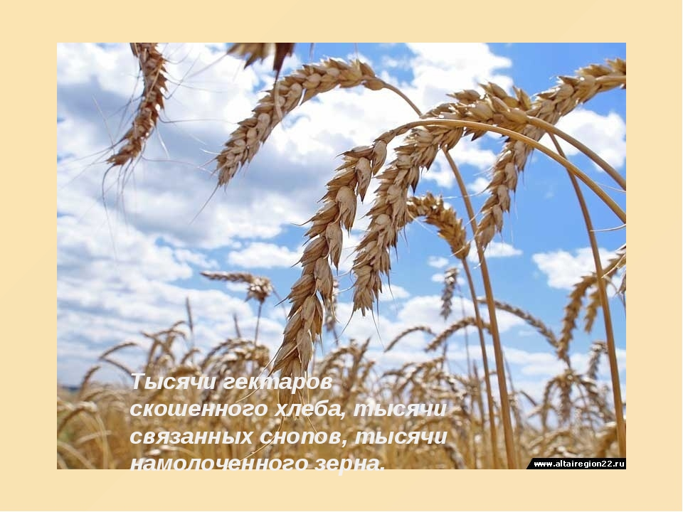 Тысячи гектаров скошенного хлеба, тысячи связанных снопов, тысячи намолоченно...