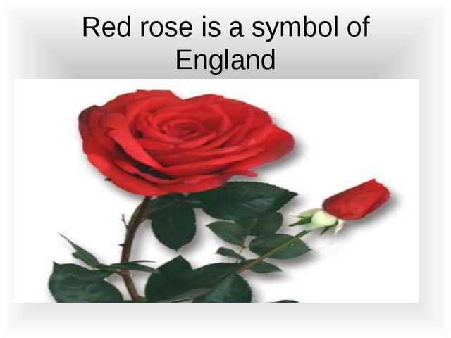 Red rose is a symbol of England