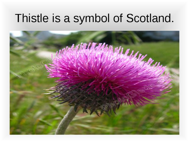 Thistle is a symbol of Scotland.