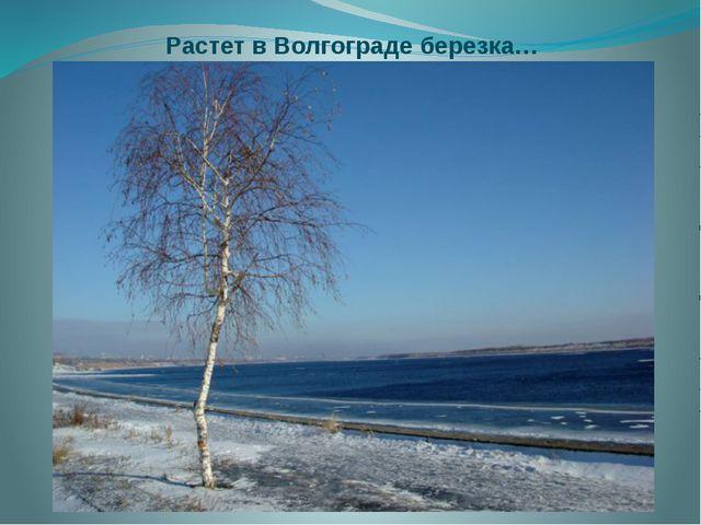 Растет в Волгограде березка…