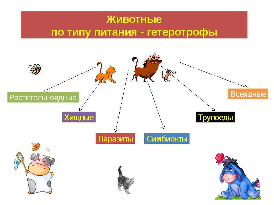 Животные по типу питания - гетеротрофы Растительноядные Хищные Паразиты Симби...