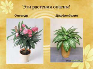 Эти растения опасны! Диффенбахия Олеандр