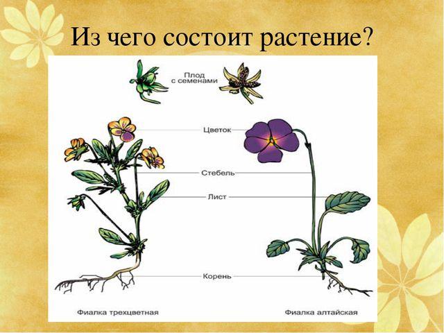 Из чего состоит растение?
