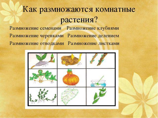 Как размножаются комнатные растения? Размножение семенами Размножение клубням...