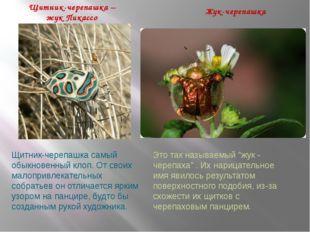 Щитник-черепашка – жук Пикассо Жук-черепашка Щитник-черепашкасамый обыкновен