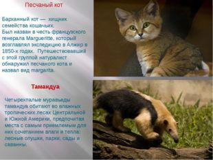 Песчаный кот Тамандуа Барханный кот — хищник семейства кошачьих. Был назван