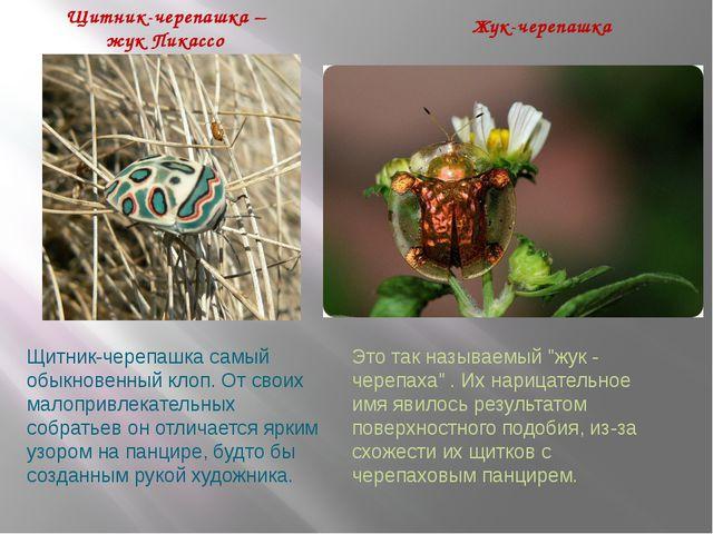 Щитник-черепашка – жук Пикассо Жук-черепашка Щитник-черепашкасамый обыкновен...