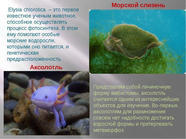Морской слизень Аксолотль Elysia chlorotica – это первое известное ученым ж...