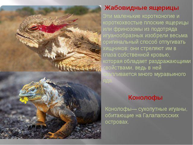 Жабовидные ящерицы Конолофы Конолофы— сухопутные игуаны, обитающие на Галапаг...