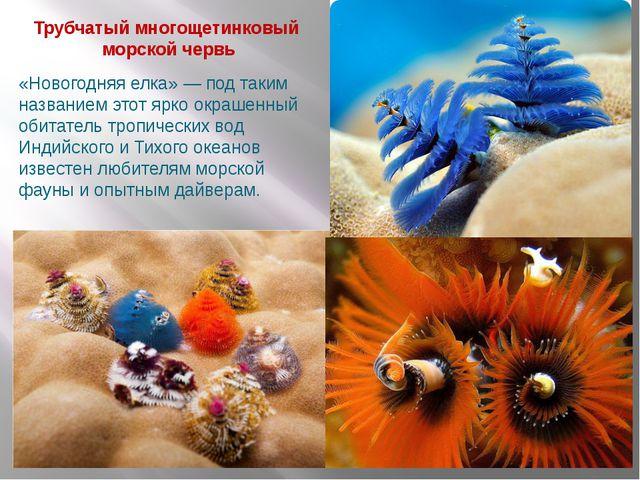 Трубчатый многощетинковый морской червь «Новогодняя елка» — под таким названи...