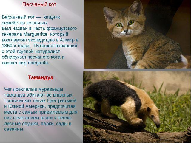 Песчаный кот Тамандуа Барханный кот — хищник семейства кошачьих. Был назван...