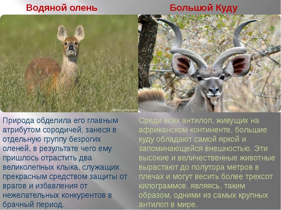 Водяной олень Большой Куду Природа обделила его главным атрибутом сородичей,...