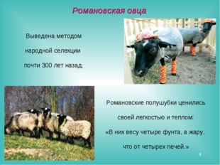 * Выведена методом народной селекции почти 300 лет назад. Романовская овца Ро