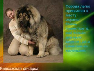 Кавказская овчарка Порода легко привыкает к месту охраны . Очень пушистые в н