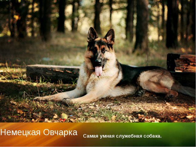 Немецкая Овчарка Самая умная служебная собака. щелкните, чтобы…