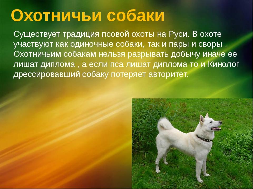 Охотничьи собаки Существует традиция псовойохоты на Руси. В охоте участвуют...