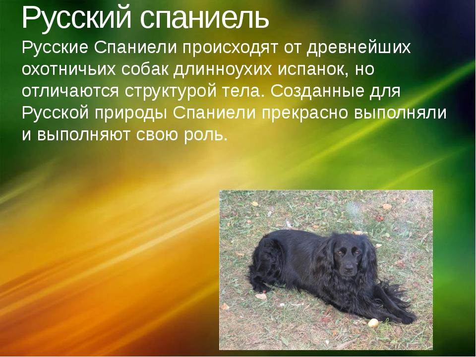 Русский спаниель Русские Спаниели происходят от древнейших охотничьих собак д...