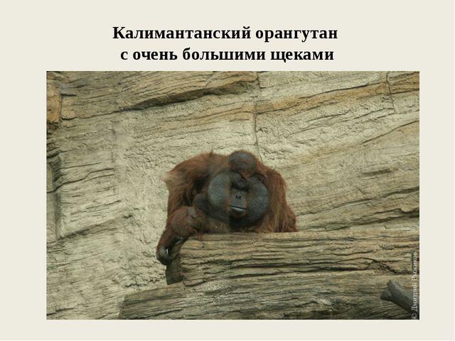 Калимантанский орангутан с очень большими щеками