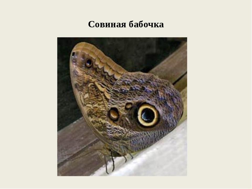 Совиная бабочка